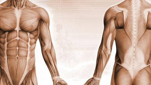 muscle-diagram.jpg