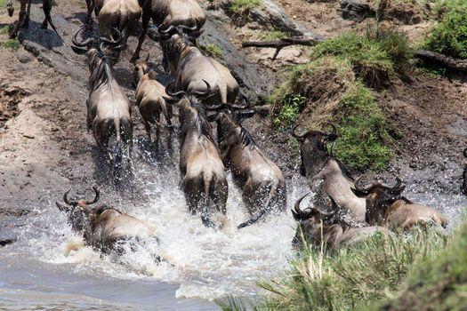 Migration and Gorillas