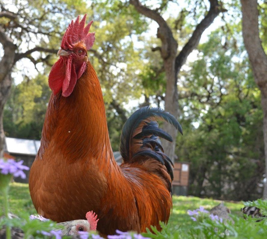 jack the rooster