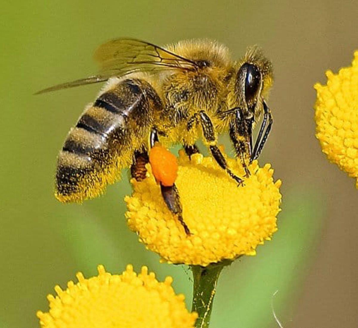 Honey Bees with Pollen