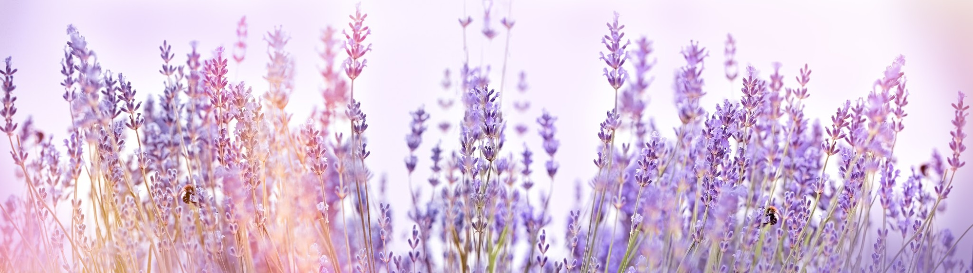 Lavender Field (1).jpg