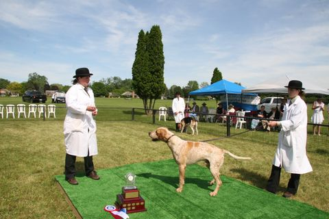 Canada Grand Champion Foxhound, TNYH BR Wentworth.jpg