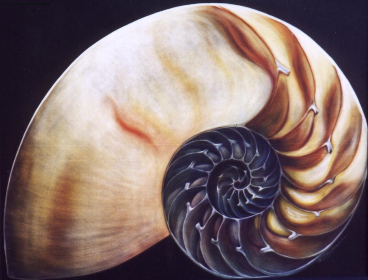 a small chambered nautilous.jpg