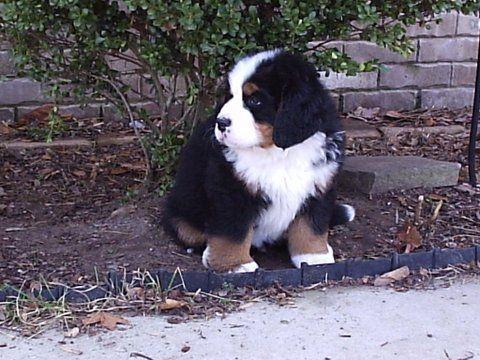 Breeder Referral Chattahoochee Valley Bernese Mountain Dog