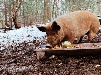 June farms piggy.JPG