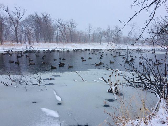 Quack Squadron in the Bay.jpg