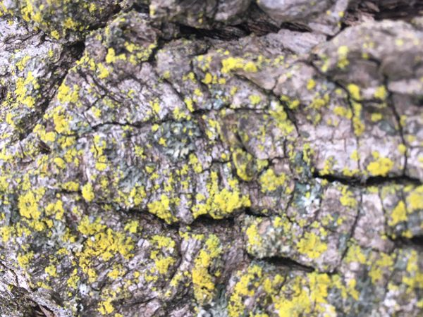 Charybdis in Yellow