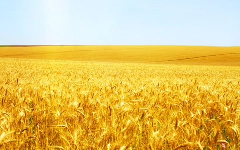 wheat-field-21.jpg