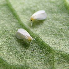 whitefly.jpg