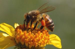 honeybee1-300x199.jpg