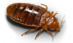 bedbugs.png