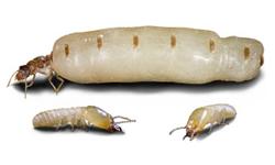Termites.png