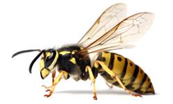wasps.png