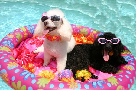 Poodles in pool large  (5).jpg