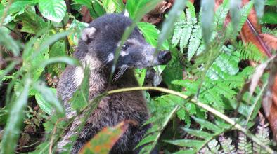 coati mundi in costa rican rainforest
