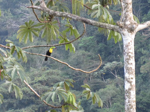 yellow and black toucan in costa rica rainforest