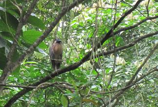 hawk in costa rica rainforest