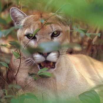 puma in costa rican rainforest