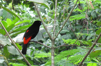 scarlet rumped tanager in costa rica rainforest