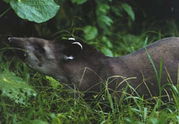 costa rican baird's tapir