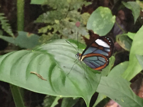butterfly on leaf in costa rican rainforest