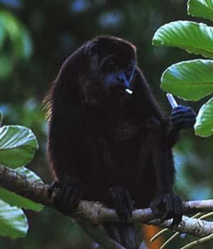 Howler monkey sitting on limb eating