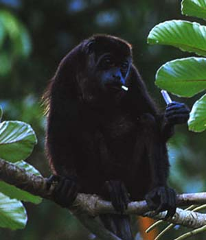 Howler monkey sitting on limb eating in costa rican rainforest