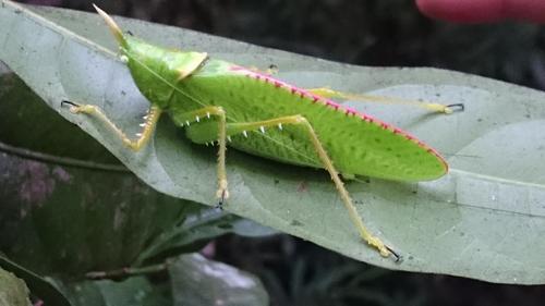 Costa Rican rainforest grasshopper