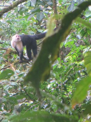 White-faced monkey in trees in Costa Rican Rainforest