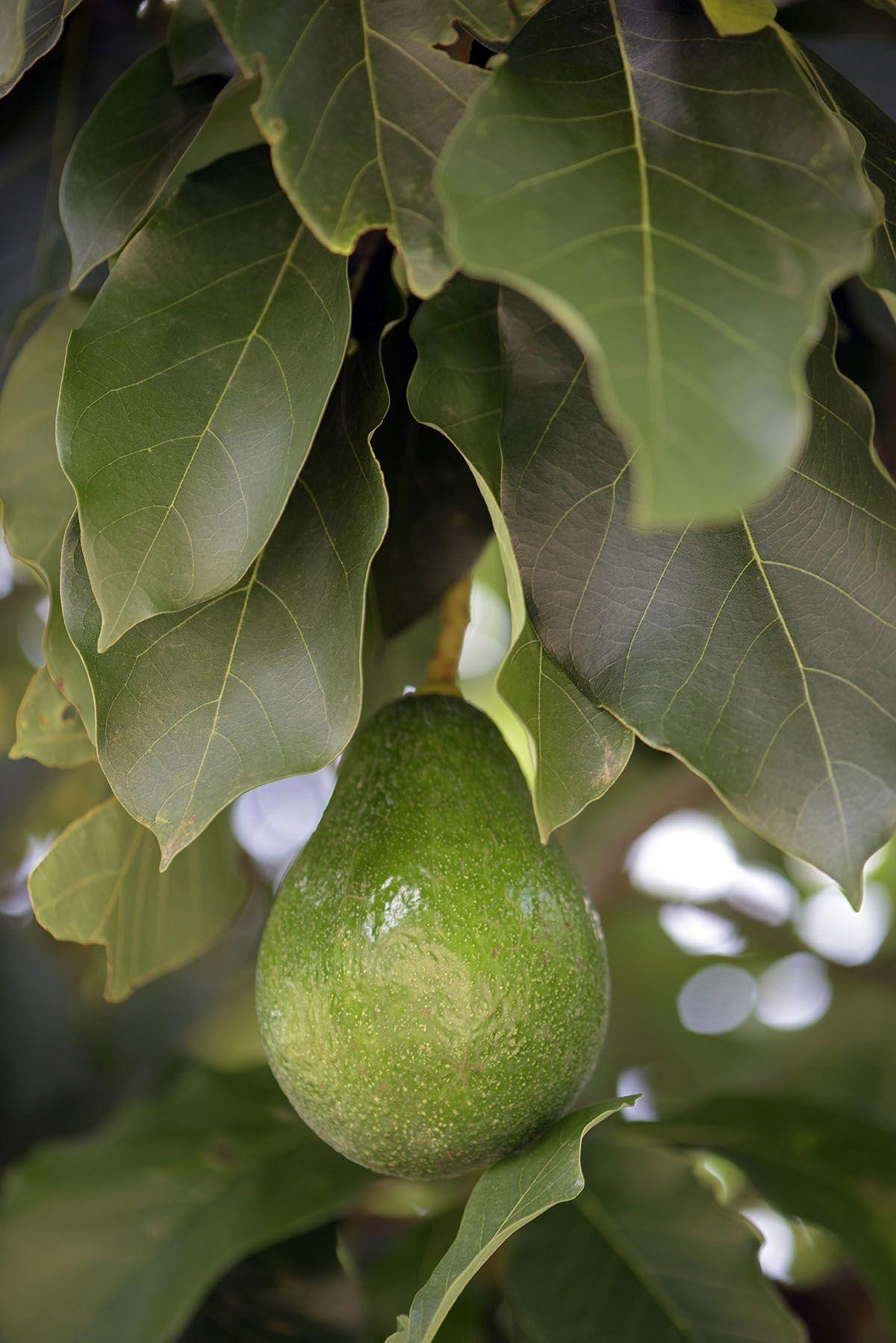 avocado small.jpg