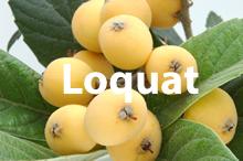 loquat.fw.png