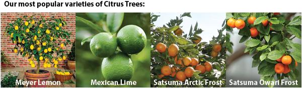 most popular citrus.png