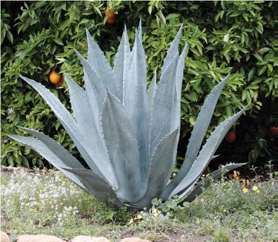 agave americana.fw.png