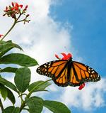 websm butterfly.jpg