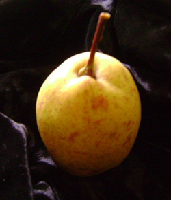 orient pear.fw.png