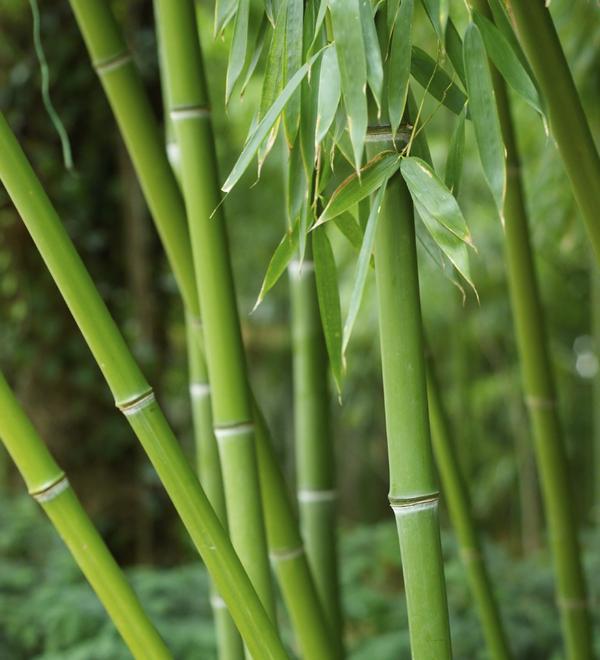 bamboomed2.jpg