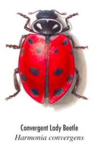 convergent-lady-beetle-200x300.png