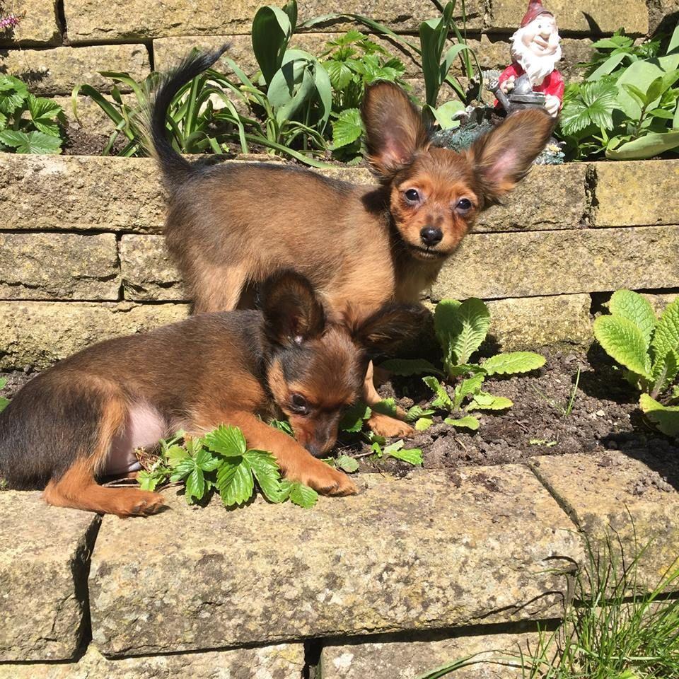 Ruby russian toy dogs.jpg
