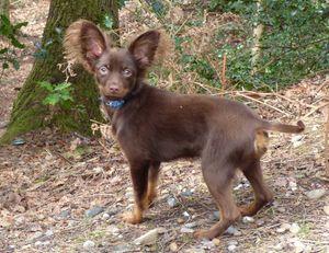 Luka Russian toy dogs London.jpg