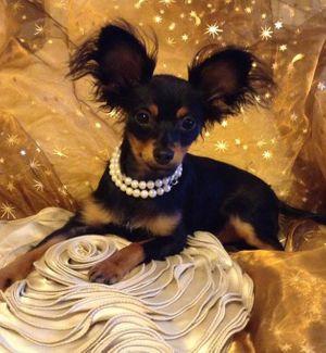 russian toy dog.jpg