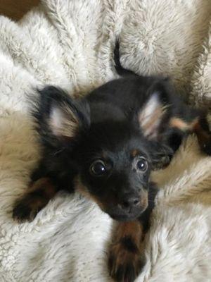 Russian Toy puppy.jpg