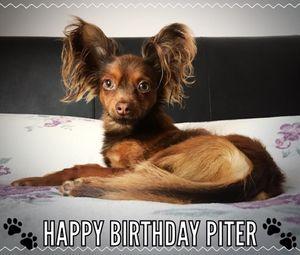 Piter russiantoy dogs uk ollarena.jpg