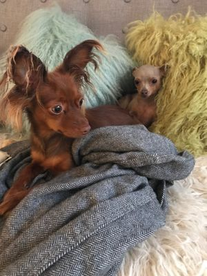 Ollarena Coco La Belle russian toy dogs uk.jpg