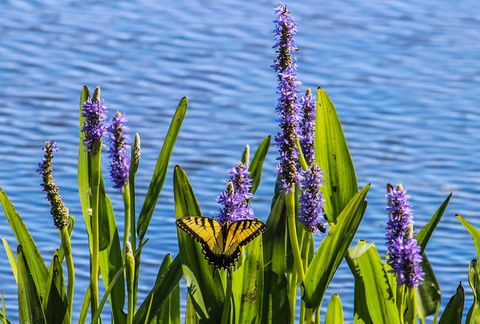 butterfly and pickerel.jpg