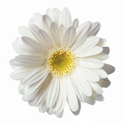 Daisy white no stem.jpg