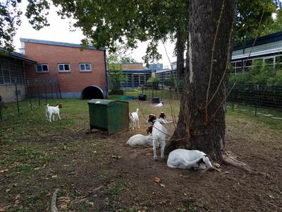 Reilly 4-H CAPITAL goats pen 2016a.jpg