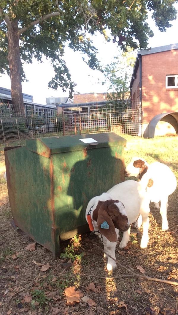 Reilly 4-H CAPITAL goats 2016d.JPG