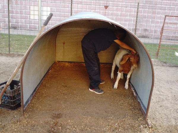 Hart 4-H CAPITAL goat in shelter 2014.JPG