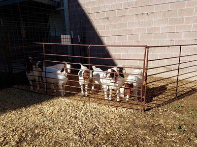 Hart 4-H CAPITAL goats pen 2016d.jpg