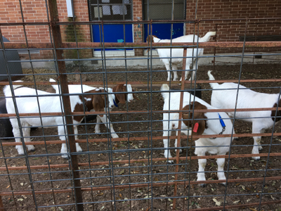 Blanton 4-H CAPITAL goats 05-03-17.jpg